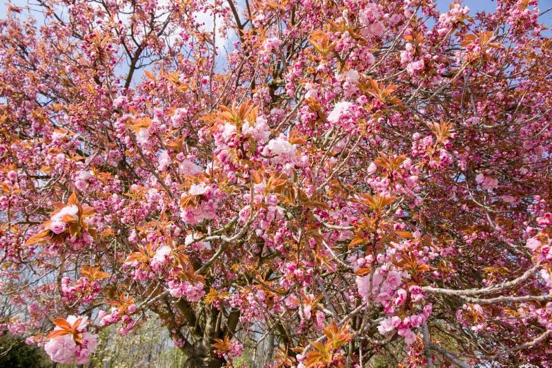 Blomning Sakura royaltyfri bild