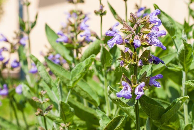 Blomning Salvia eller vis ört i en trädgård hemma royaltyfri bild