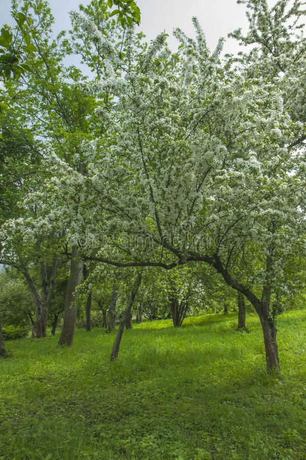 BlomningApple-tr?d p? tr?dg?rden Det vita frukttr?det t?ckte blommor royaltyfri fotografi