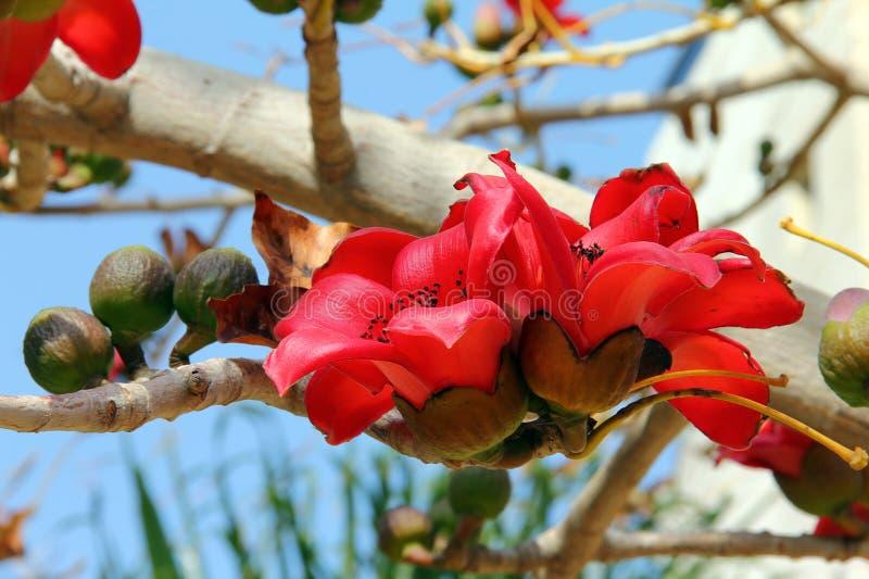 Blomningar av den röda treen för Silk bomull (bombaxen) arkivfoton