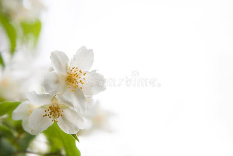 Blomningar av jasmin på en vit bakgrund fotografering för bildbyråer