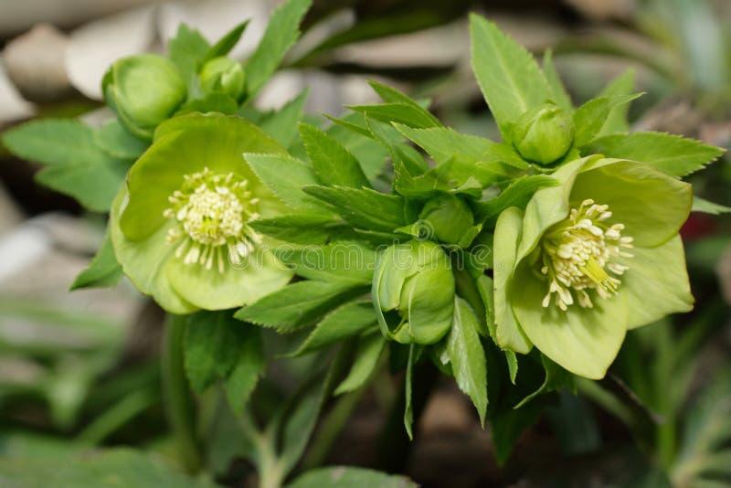 blomningar blommar den gröna helleboren arkivbild