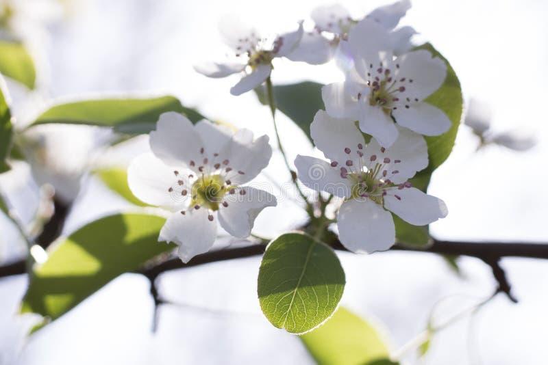 Blomningar för Apple träd i trädgården i tidig vår royaltyfri bild