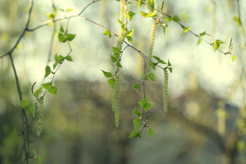 Blomningar för björkträd Vårbakgrund med filialen av björkcatk royaltyfria bilder