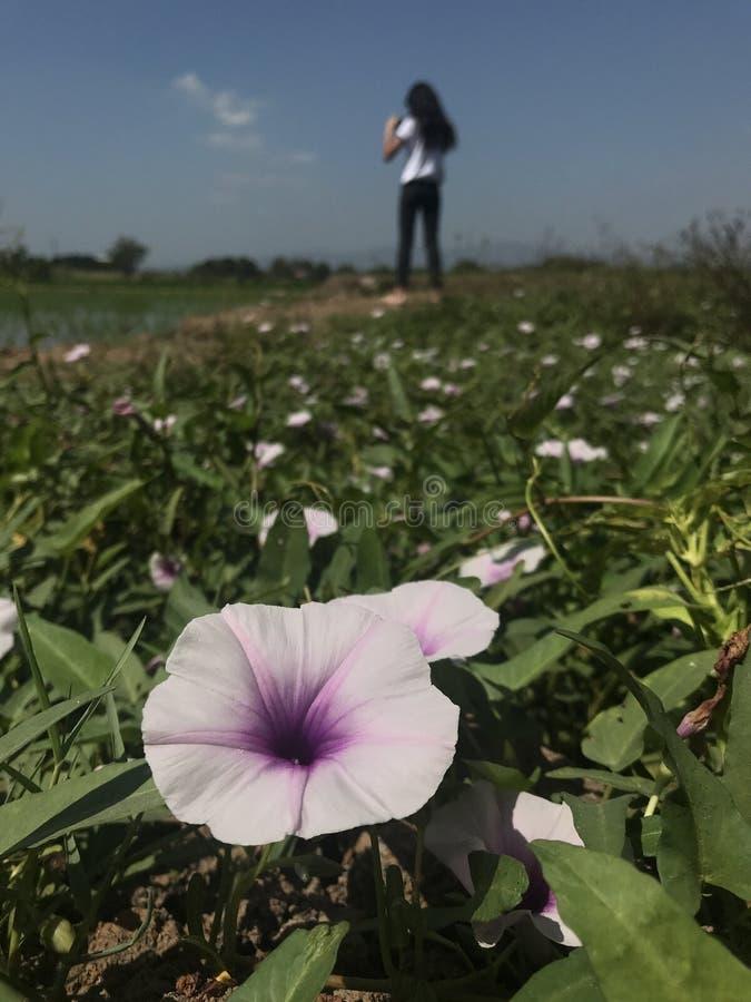 Blomningar för blommor för morgonhärlighet royaltyfri bild