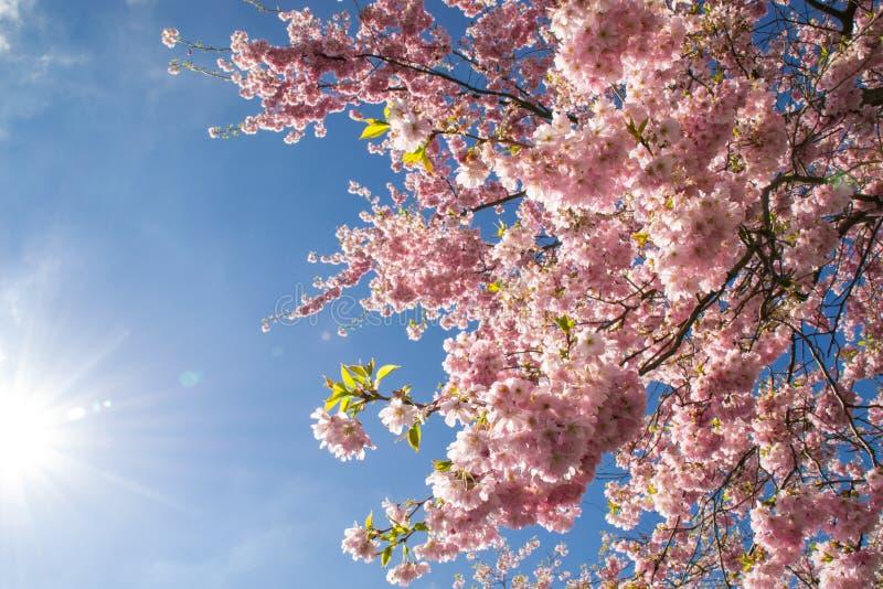 Blomningar för körsbärsrött träd. royaltyfri bild