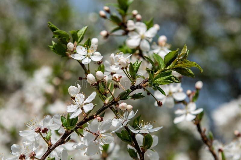 blomningar för körsbärsrött träd som blommar i filialer i vår royaltyfri foto