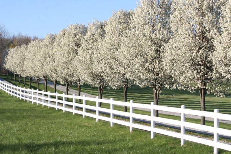 Blomningar för päronträd arkivfoto