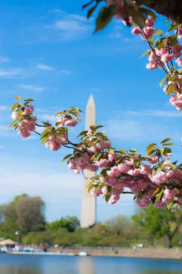 Blomningar för Washington monumentkörsbär fotografering för bildbyråer