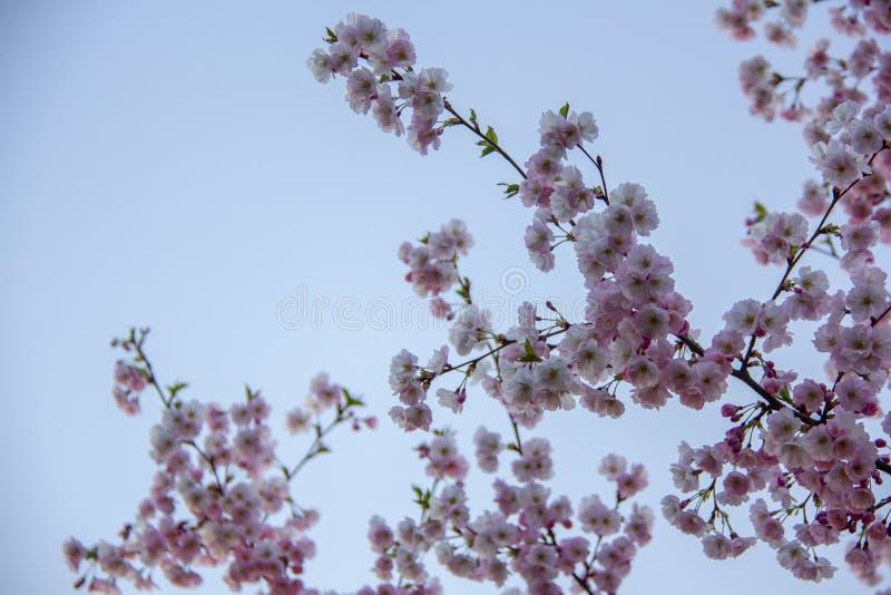 Blomningar på filialen på naturlig oskarp bakgrund under att blomma för vår Filial med sakura blomningar Blommande br för körsbär arkivbilder