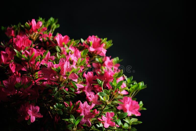 Blomningazalea fotografering för bildbyråer