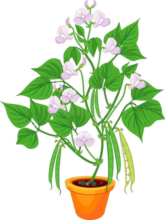 Blomningbönaväxt i blomkruka med isolerade gräsplansidor och fröskidor royaltyfri illustrationer