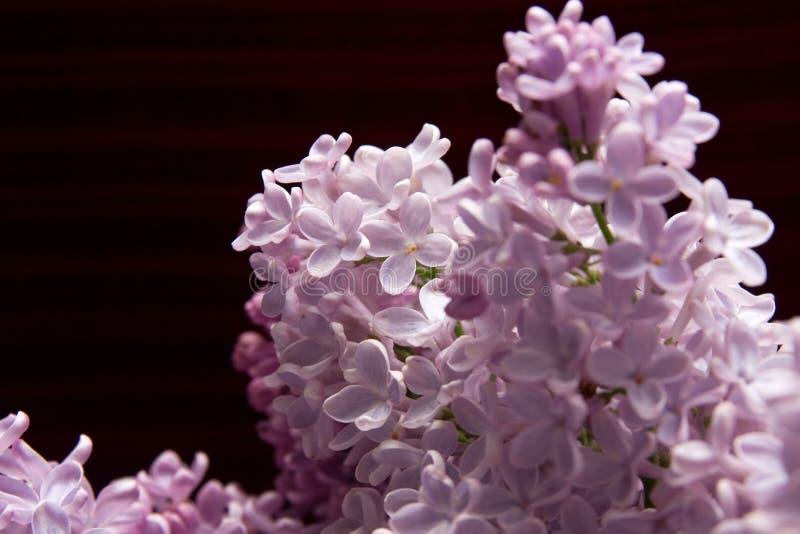 blomningblommalila royaltyfri bild