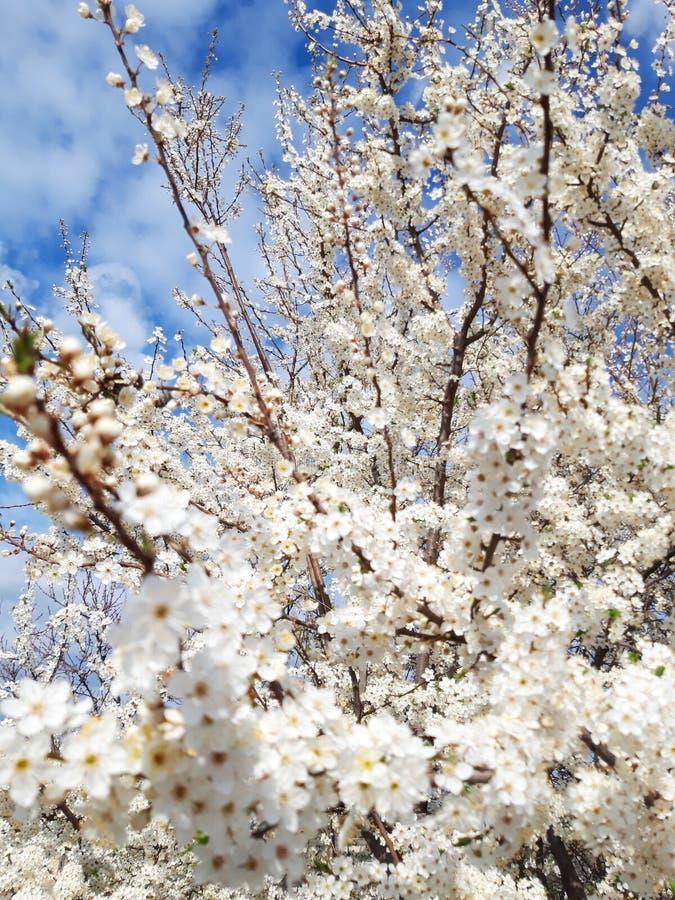 Blomningblommaträd i trädgården arkivbilder