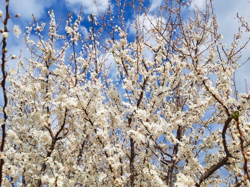 Blomningblommaträd mycket av blom med mycket små blommor royaltyfri foto