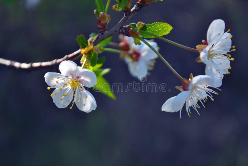 Blomningblommor för körsbärsrött träd och gröna sidor stänger sig upp detaljen på oskarpa grå färger arkivbild
