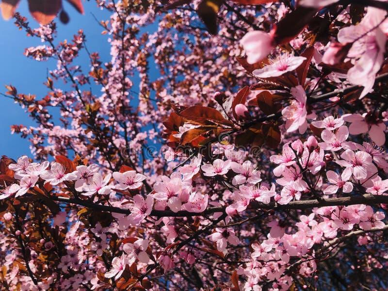 Blomningblommor sakura arkivbilder