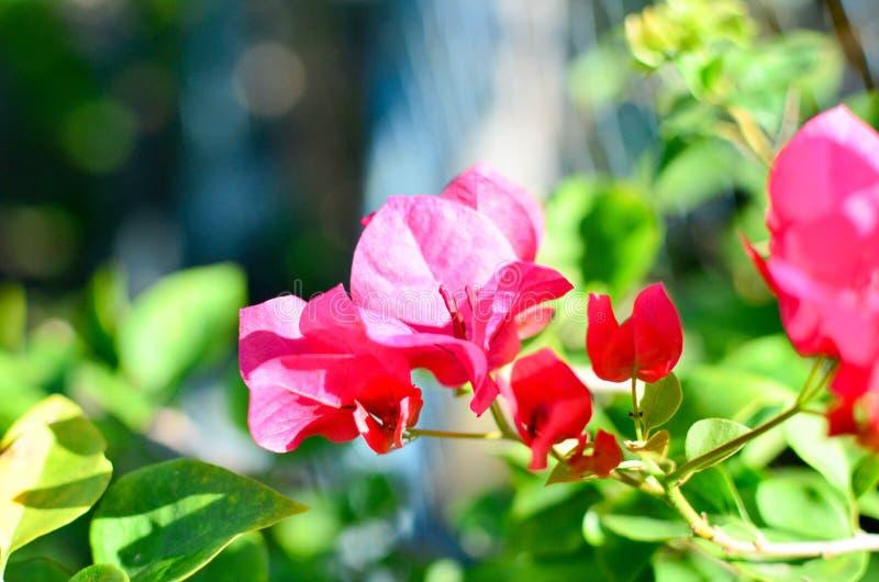 Blomningbougainvillea royaltyfri fotografi