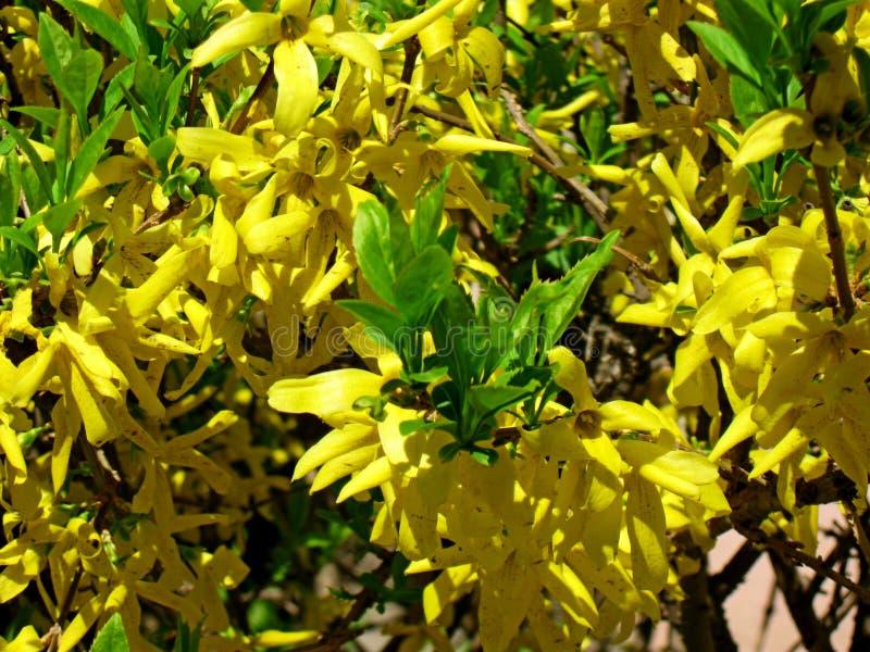 Blomningbuske - guld- regn Många vibrerande gula blommor, grunt djup av fältet royaltyfria foton