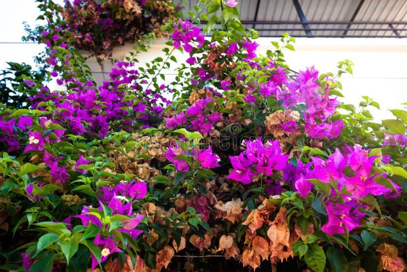 Blomningbuske med rosa blommor royaltyfria bilder