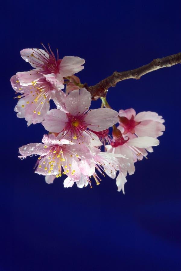 blomningCherry royaltyfri fotografi