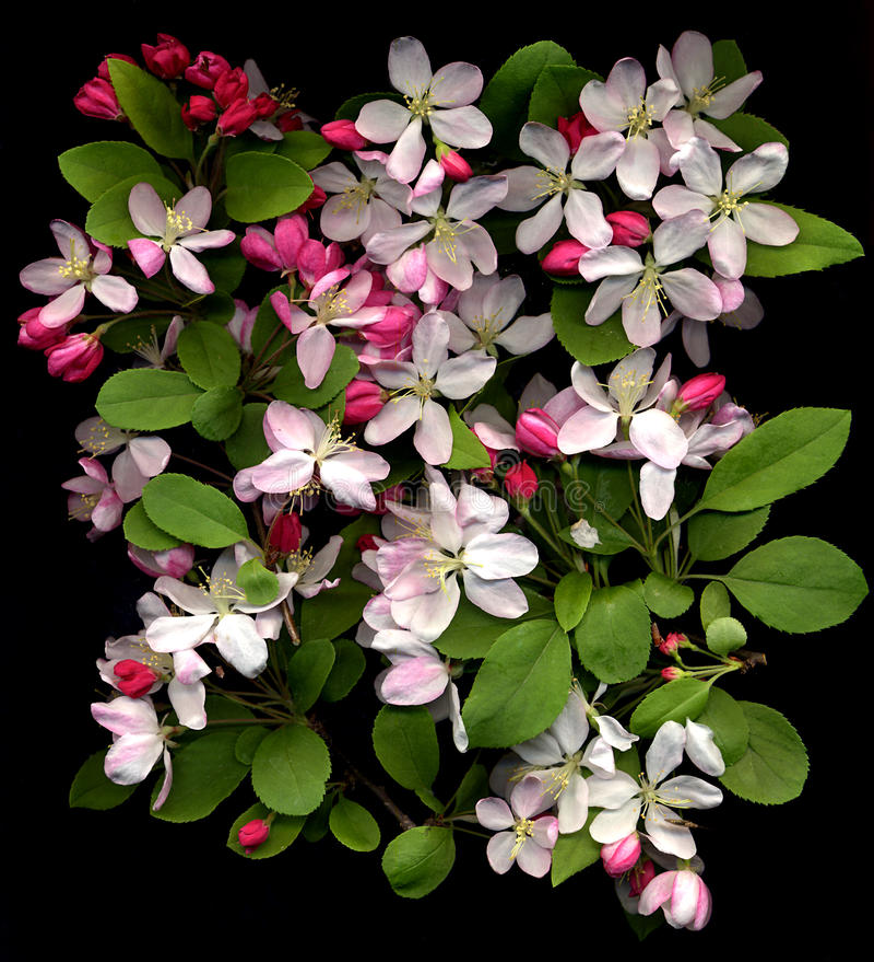 blomningCherry royaltyfria bilder