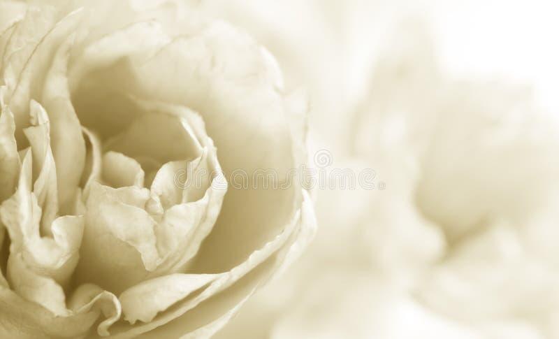 blomningCherry royaltyfria foton