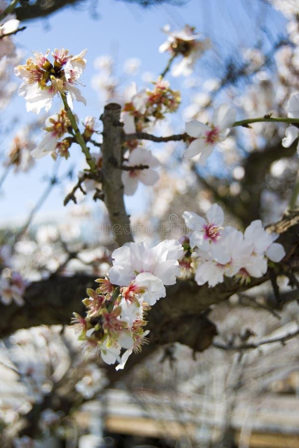 blomningCherry japan royaltyfri fotografi