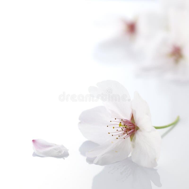 blomningCherryblomma arkivfoton