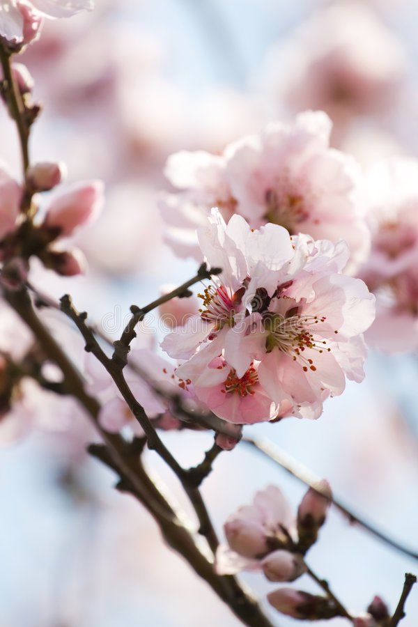 blomningCherryfjäder royaltyfri fotografi