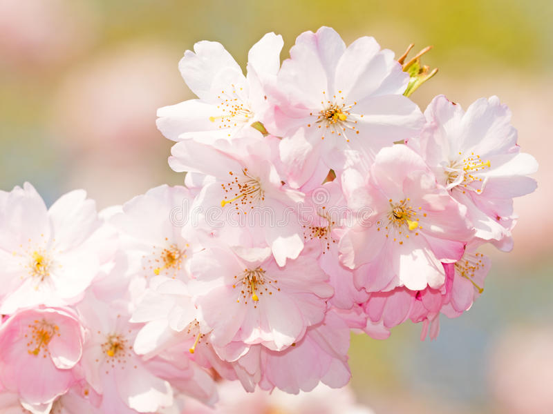 blomningCherryjapan sakura arkivfoto
