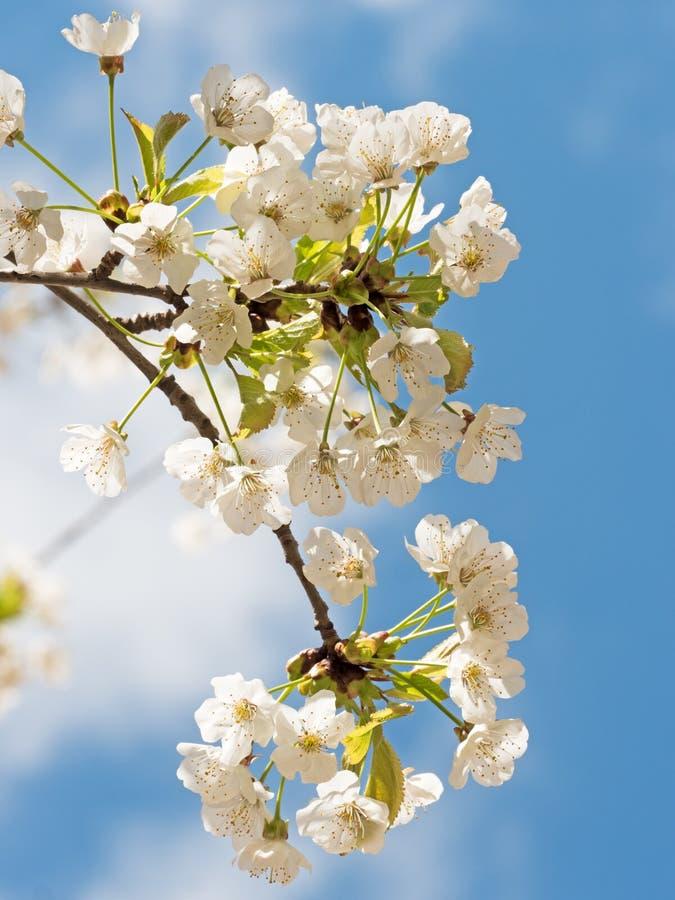 blomningCherryjapan sakura fotografering för bildbyråer