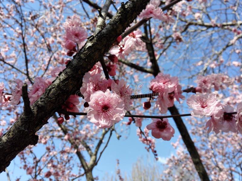 blomningCherryjapan sakura royaltyfri foto