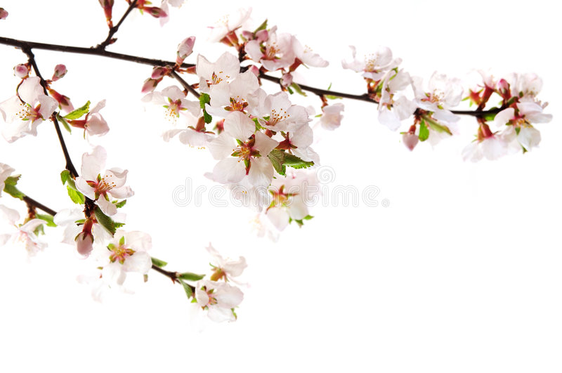 blomningCherrypink royaltyfri foto