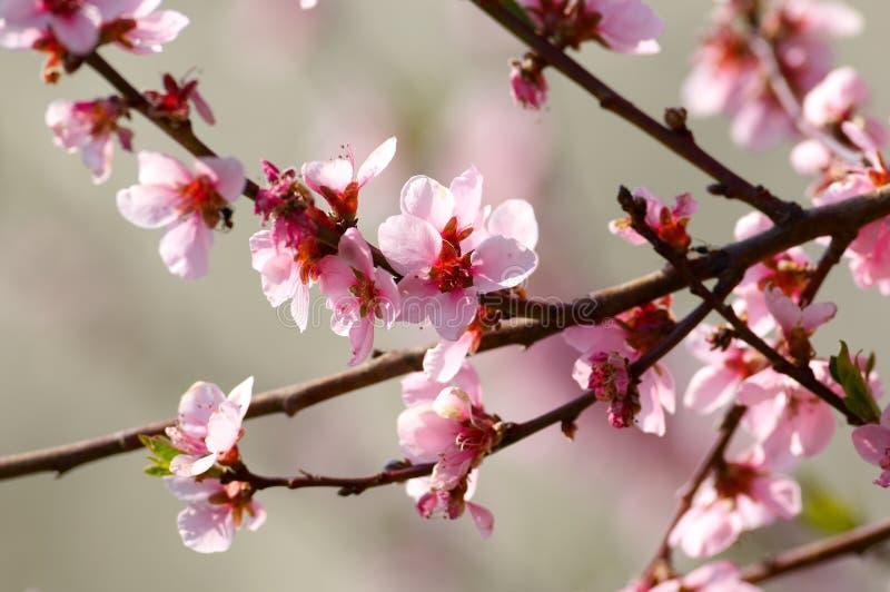 blomningCherrytree arkivfoto