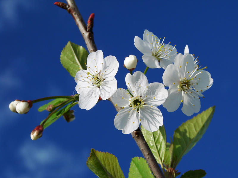 blomningCherrytree royaltyfri foto