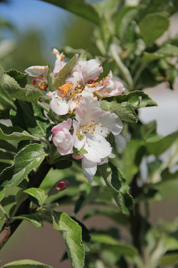 Blomningcrabapple arkivbild