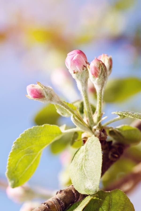 Blomningen av Apple-träd, första blommar på fruktträd arkivfoton