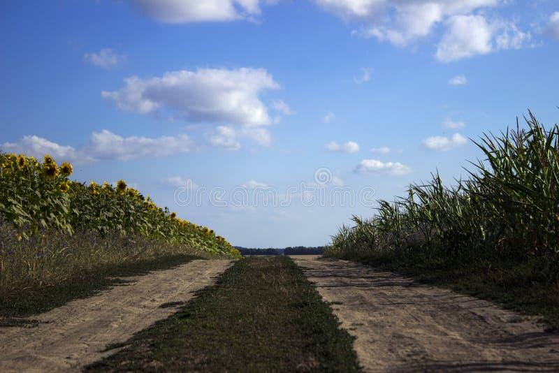 Blomningen av solrosen och mogen havre och vete i ett fält royaltyfri foto
