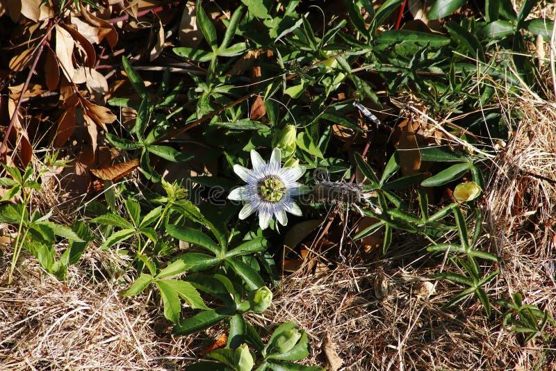 Blomningen för blomman för passion för vitblått elegantly, blickar gillar utmärkt royaltyfria foton
