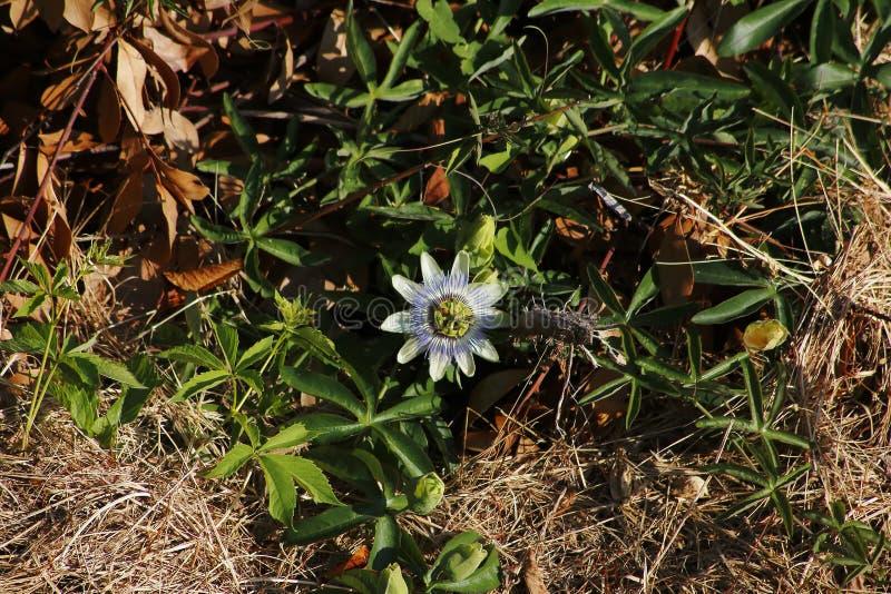 Blomningen för blomman för passion för vitblått elegantly, blickar gillar utmärkt fotografering för bildbyråer