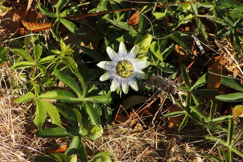 Blomningen för blomman för passion för vitblått elegantly, blickar gillar utmärkt royaltyfria bilder