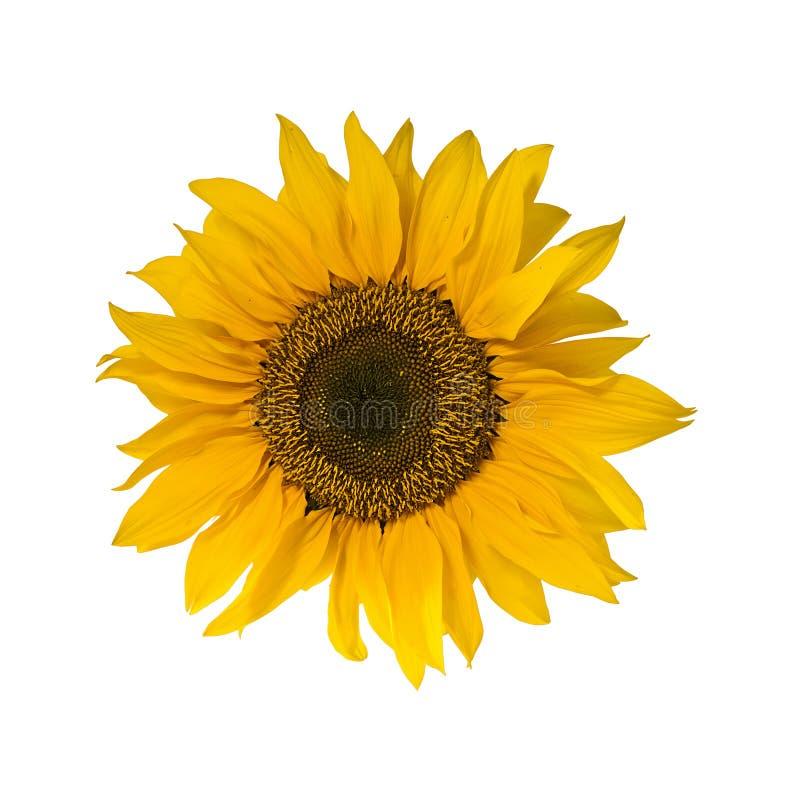 blomningen isolerade solroswhite fotografering för bildbyråer