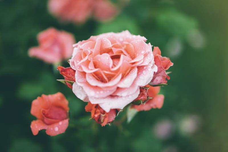Blomningen steg med droppar av regn på grön bakgrund, blommor för förälskelsekvinnor och mödrar, den nya härliga roscloseupen, mo fotografering för bildbyråer