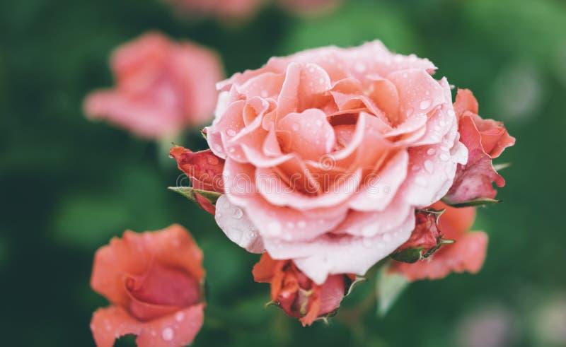 Blomningen steg med droppar av regn på grön bakgrund, blommor för förälskelsekvinnor och mödrar, den nya härliga roscloseupen, mo royaltyfri foto