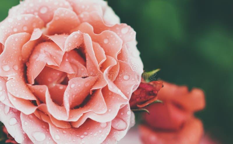 Blomningen steg med droppar av regn på grön bakgrund, blommor för förälskelsekvinnor och mödrar, den nya härliga roscloseupen, mo arkivbild