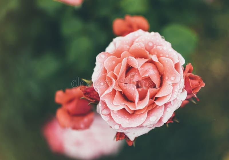 Blomningen steg med droppar av regn på grön bakgrund, blommor för förälskelsekvinnor och mödrar, den nya härliga roscloseupen, mo arkivfoto