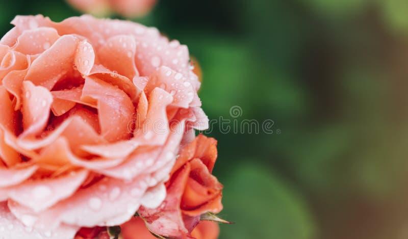 Blomningen steg med vattendroppar av regn på grön bakgrund, blommor för förälskelsekvinnor och mödrar, ny härlig roscloseup arkivfoton