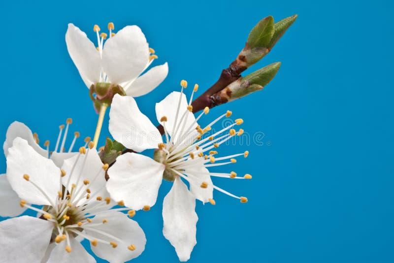 blomningfilialCherry royaltyfria foton