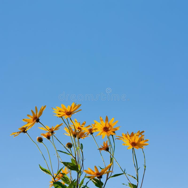 Blomningguling blommar på en blå bakgrund arkivfoto